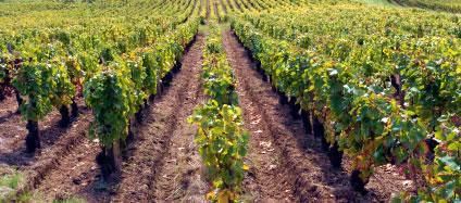 Bourgogne - Vignes
