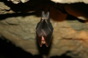 Les Grottes de La Balme - Petit rhinolophe © D.Jungers