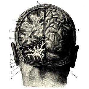 Cerveau - Crâne
