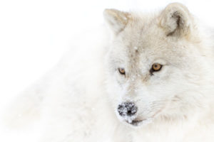Arctic wolf (Canis lupus arctos) - Loup